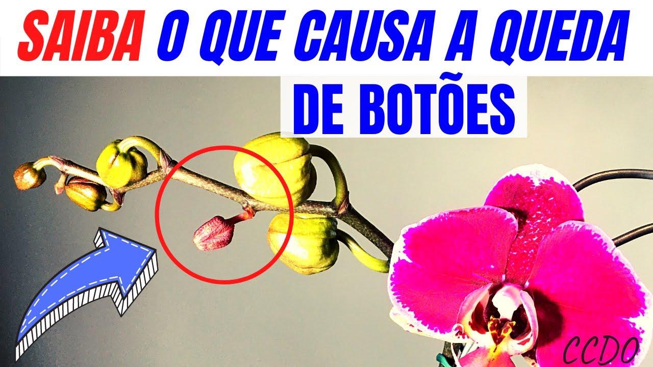 Como cuidar de orquídeas: SAIBA POR QUE OS BOTÕES FLORAIS DA SUA ORQUÍDEA ABORTAM (prováveis causas)