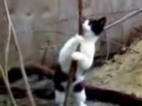 Mèo múa cột