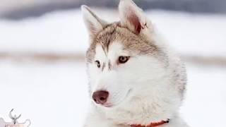 Лайка босс и фото собак лайк!!!