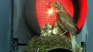 Trafik ışıklarında bir kuş yuvası - BBC TÜRKÇE