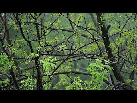 🎧 Rain On Trees Sound ( Raindrops On Leaves NO Thunder Sounds ), Relaxing Rain Ambiance For Sleeping