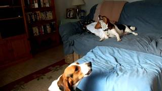 Beagles Howling!