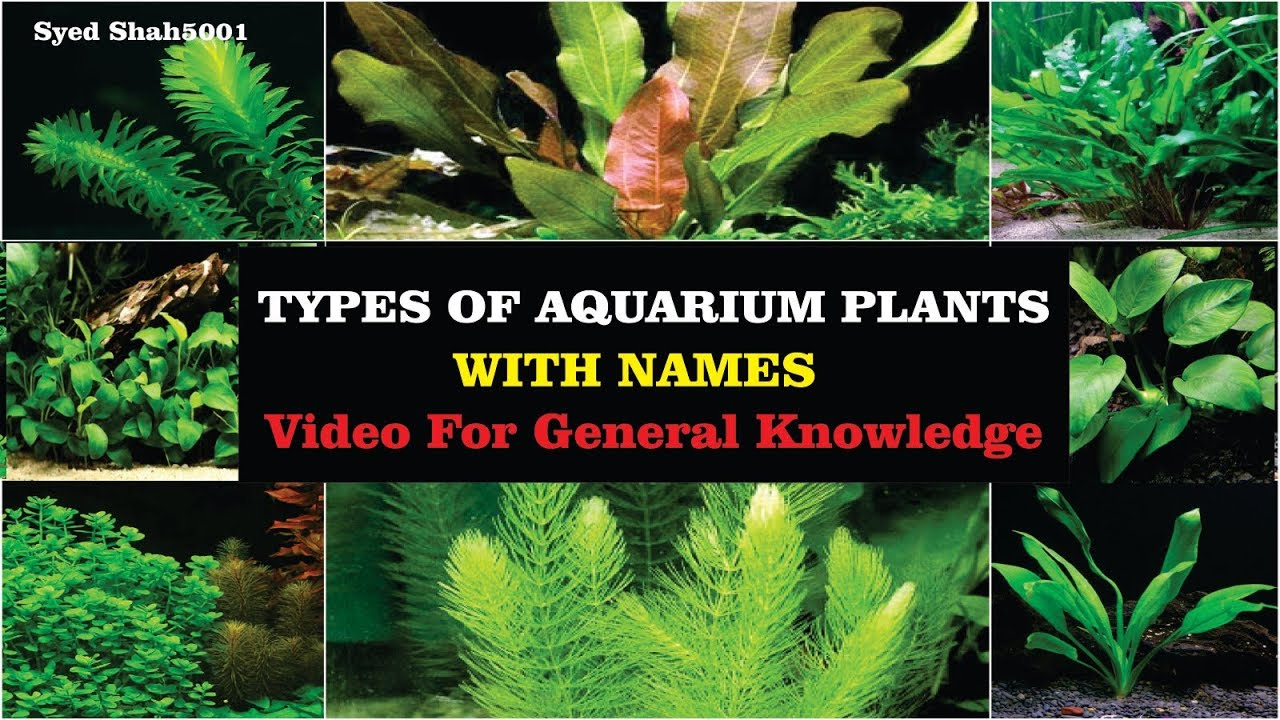 Types Of Aquarium Plants With Name S 2018 Video For Basic Knowledge Aqurist Must Know