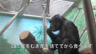 チンパンジーの食事の様子です。ごはんはくだものが中心で、私たちと同...