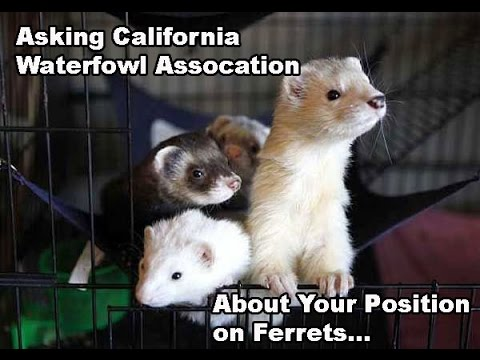 LegalizeFerrets.org asks the California Waterfowl Assoc to change their position on ferrets