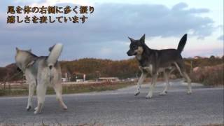 落ち着いた犬同士のあいさつです、わかりやすい絵が撮れました.