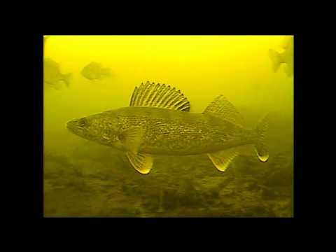underwater walleye strikes