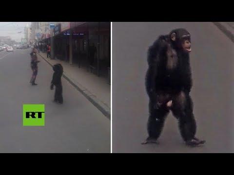 Este chimpancé se paseó por las calles como un vecino más