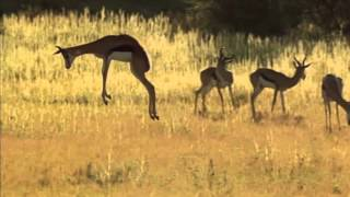 Springbok pronking From BBC's 'Africa'