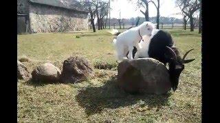 kozi świat- kozy karpackie