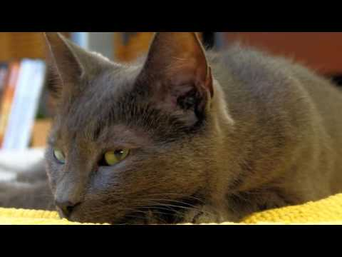 Korat cats History,Personality,Health,Care
