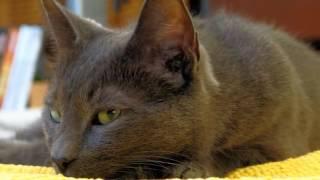 Korat cats History,Personality,Health,Care
