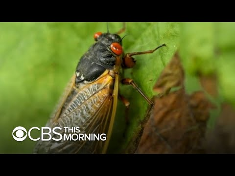 Trillions-of-cicadas-as-loud-as-lawnmowers-emerge-in-15-states-after-17-years-underground