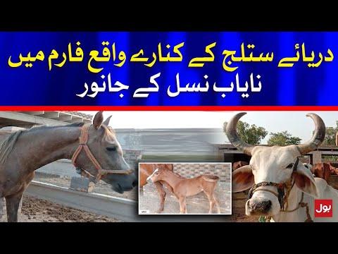 Special Breed Animal found near River Sutlej