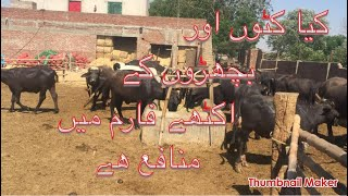 Katta+vachha farming in pakistan/katta farming/vachha or calf farming /farming business info.