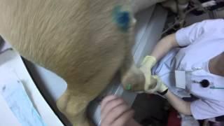 Пункция голеностопного сустава у собаки