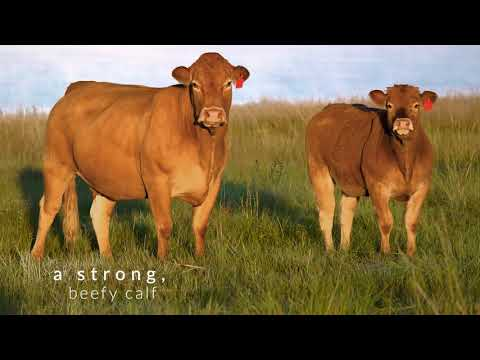 Limousin Cattle Breeders Society of South Africa