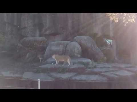 Lions fighting at Lincoln Park Zoo in Chicago