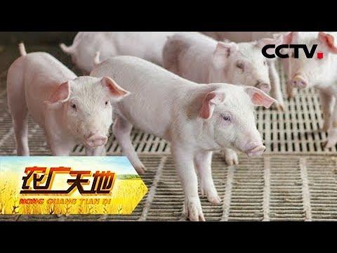 《农广天地》老沈养猪有一套 20181108 | CCTV农业