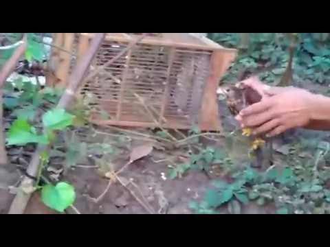 Berburu Burung Alap Alap BWK, Dengan Umpan Anak Ayam Jebakan Tali Jerat