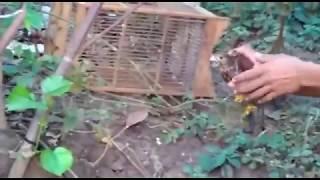 Download lagu Berburu burung alap alap BWK, dengan umpan anak ayam jebakan tali jerat