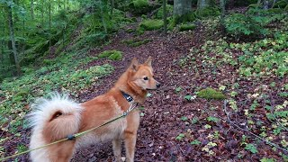 Finnish Spitz treks hilly forest