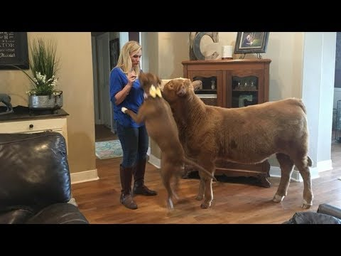 This Rescued Cow Thinks She Is A Dog. What She Does Every Day Is So Adorable…