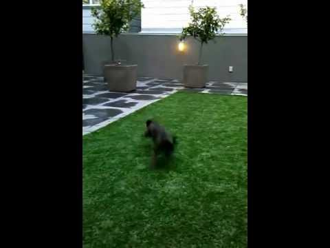 ibizan hound mixed breed dog running really fast