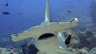 Jonathan Bird's Blue World: Hammerhead Sharks