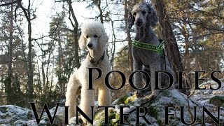 Brandy and iris - poodles winter fun