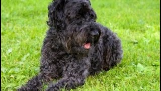 Kerry Blue Terrier Dog Breed | Kerry Blue Terrier  Dog Breed