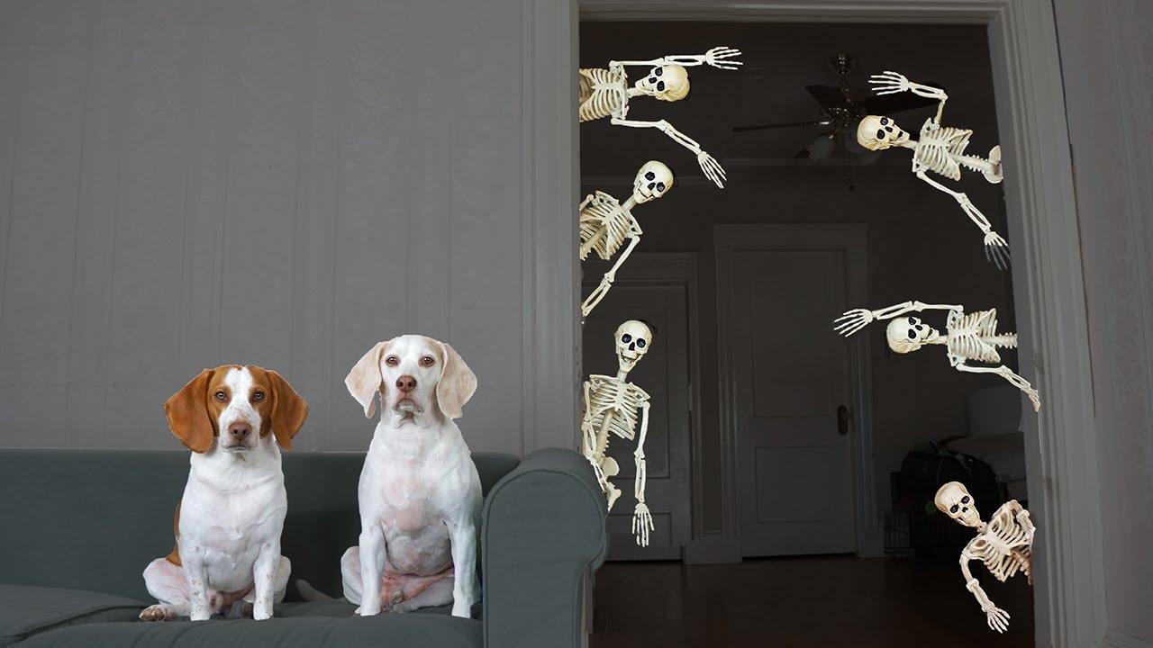 Dog vs Mini Skeletons Halloween Prank: Funny Dogs Maymo & Potpie's Skeleton Invasion
