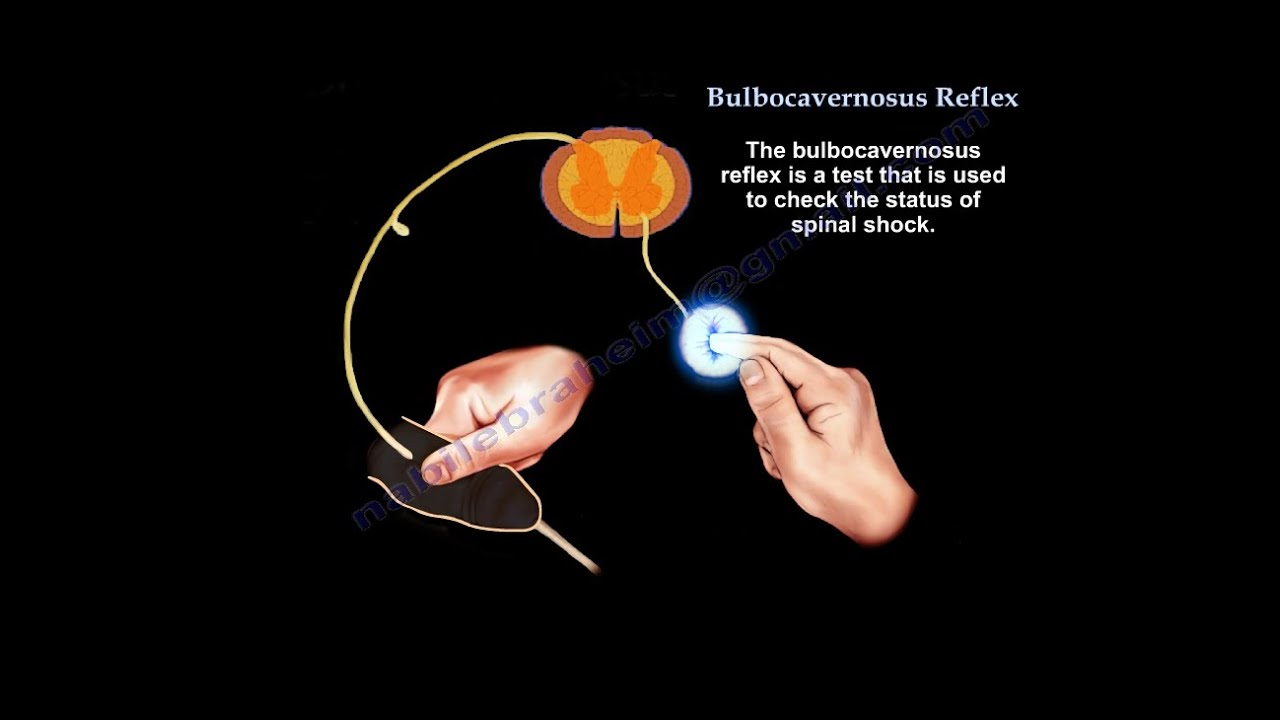 Bulbocavernosus Reflex, Spinal shock - Everything You Need ...