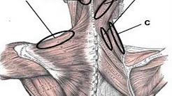 hqdefault - Shoulder Neck Back Pain Right Side