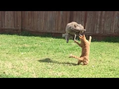 Epic Cat Fight Jumping Mid-Air Kitten Clash of Titans