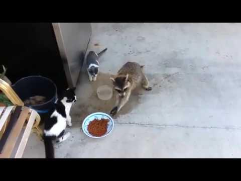 смешное видео енот ворует еду