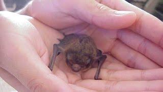 我が家に居ついた可愛い吸血コウモリ a vampire bat