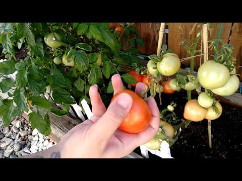 Clipping my 1st Phoenix tomatoes!!