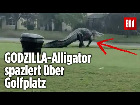 MONSTER-Alligator (5,30 Meter!) gesichtet – so riesig wie ein SAURIER