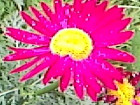 Цветение цветной ромашки в саду