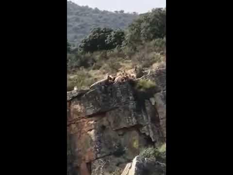 Un ciervo y unos perros caen por un barranco en una jornada de caza