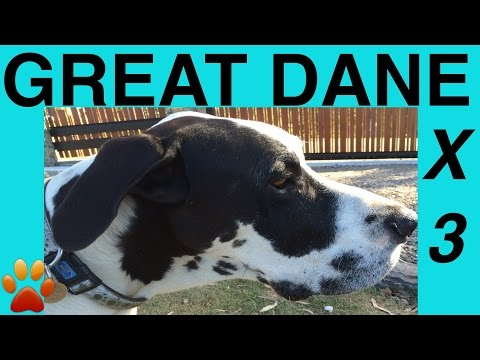 How to make GREAT DANES FOOD- RAW MEAT KIBBLE BLEND - DIY Dog Food by Cooking For Dogs