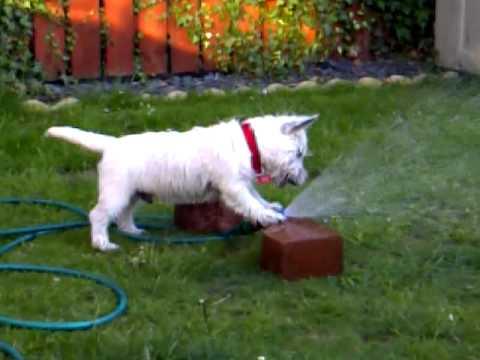 westie dog having fun with water