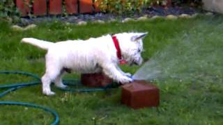 Westie Dog Having Fun With Water