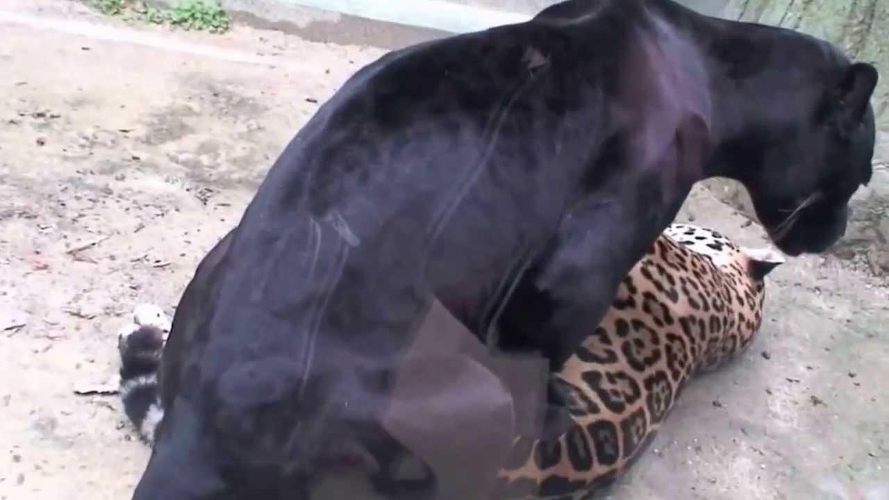 мужик трахает льва