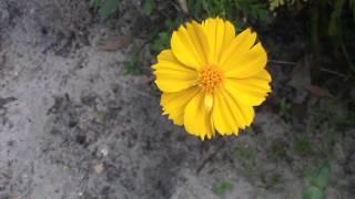 Coreopsis | Largeflower Tickseed