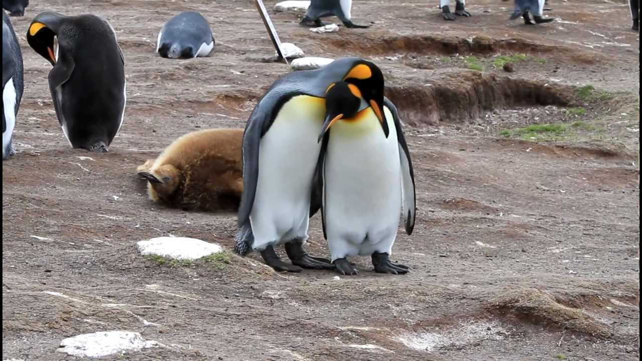 King Penguins Courting and Mating - YouTube