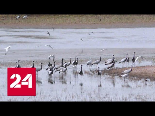Привал по дороге в жаркие страны: желанные гости в долине журавлей - Россия 24