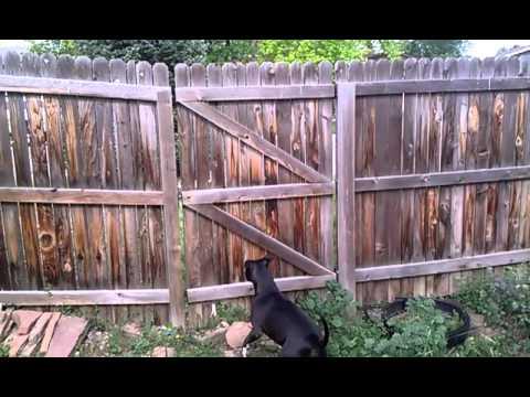 Pitbull can jump six foot fence no problem