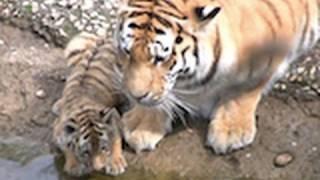 Zoo Leipzig - die Tiger Babys / Puppys